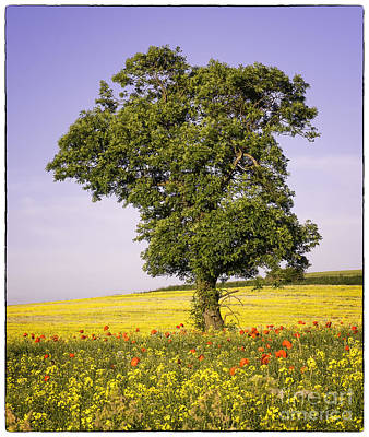 Photograph - Tree In Rape Field No3 by George Hodlin
