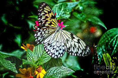 Tickseed Photograph - Tree Nymph 2 by Diane E Berry