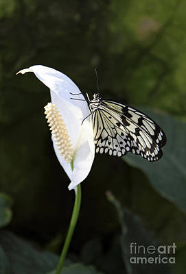Personalized Name License Plates - Tree Nymph butterfly on Peace Lily by Julia Gavin