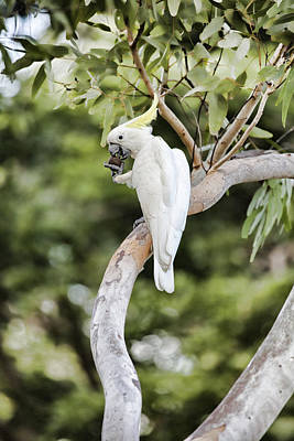 Cockatoo Photograph - Tree Of Treats V2 by Douglas Barnard