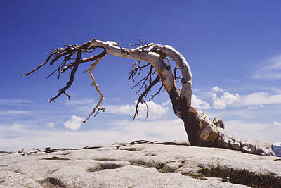 Eastern Accents Photograph - Tree On Mount Whitney by Jeff Leland