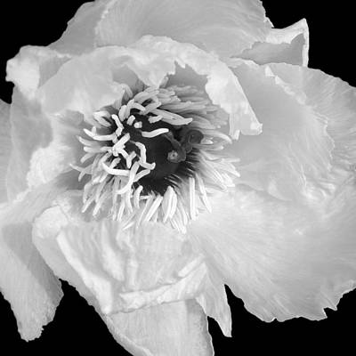 Photograph - Tree Peony Close Up Black And White by Gill Billington