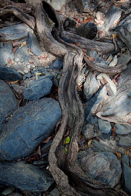 Photograph - Tree Root by Carole Hinding