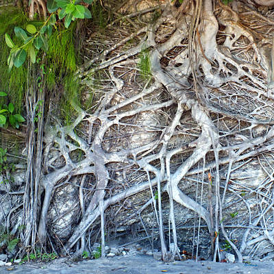 Photograph - Tree Roots On A Wall In Harbour Island by Duane McCullough