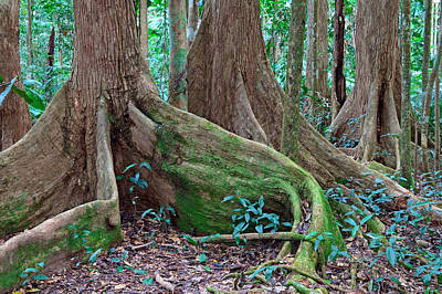 Tree Roots Tropical Rainforest Art Print