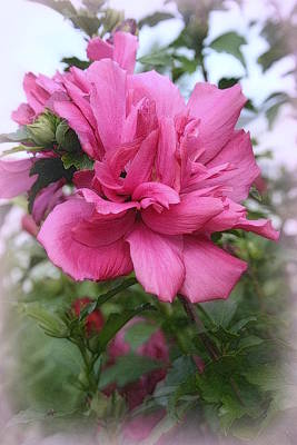 Rose Of Sharon Tree Photograph - Tree Rose Of Sharon by Kay Novy