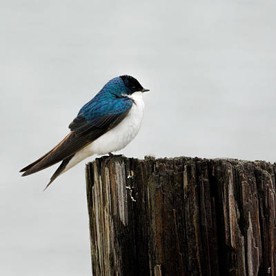 Photograph - Tree Swallow - 06.14.2014 by Jai Johnson