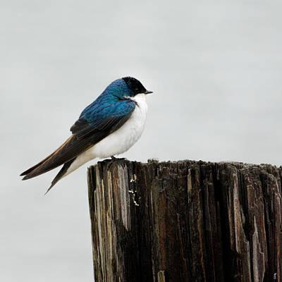 Swallow Photograph - Tree Swallow - 06.14.2014 by Jai Johnson