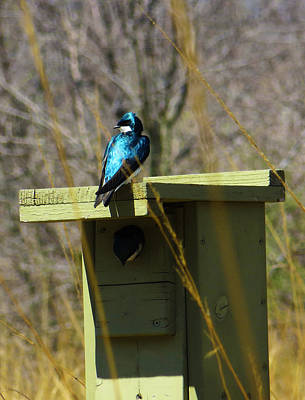 Photograph - Tree Swallow 2 by Shawna Rowe