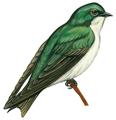 Ornithology Drawing - Tree Swallow  by Anonymous