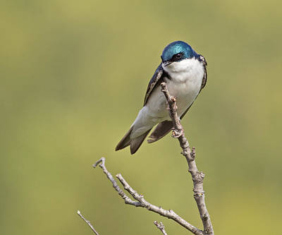 Photograph - Tree Swallow by Brian Magnier