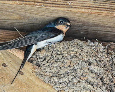 Swallow Photograph - Tree Swallow In Nest by Jai Johnson
