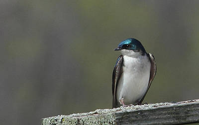 Photograph - Tree Swallow  by James Hammen