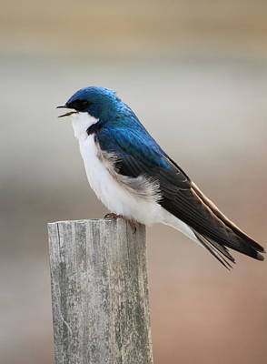 Photograph - Tree Swallow by John Burk
