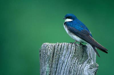 Swallow Photograph - Tree Swallow by Paul J. Fusco