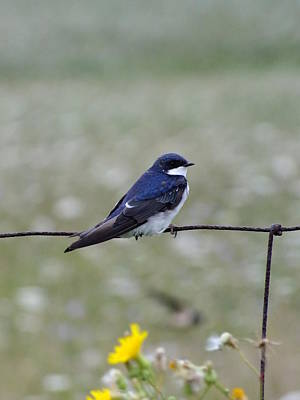 Photograph - Tree Swallow by Peggy King