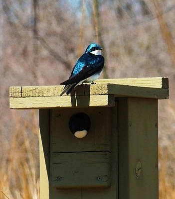 Photograph - Tree Swallow by Shawna Rowe