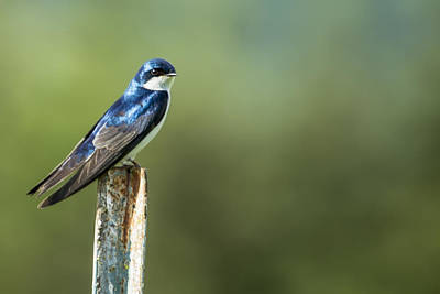 Blueish Photograph - Tree Swallow Sitting On A Post by Belinda Greb