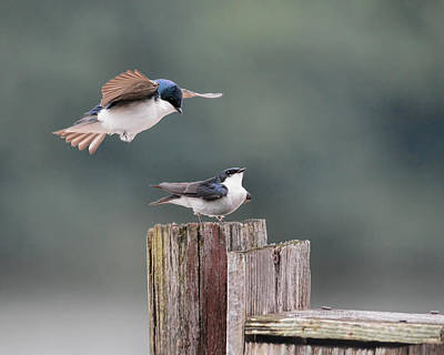 Swallow Photograph - Tree Swallows Mating 1 by Jai Johnson
