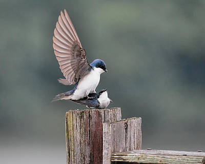 Swallow Photograph - Tree Swallows Mating 3 by Jai Johnson