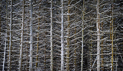 Natural Abstract Photograph - Tree Trunks In Winter by Elena Elisseeva