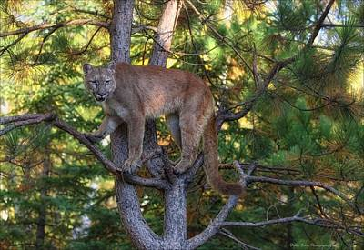 Treed Mountain Lion Art Print by Daniel Behm