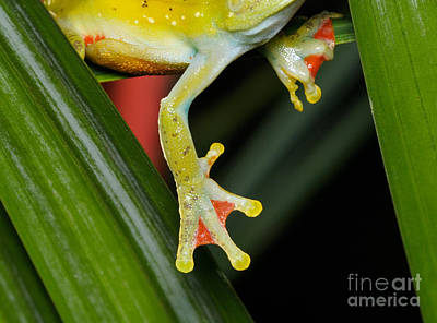 Photograph - Treefrog Foot by Martin Shields