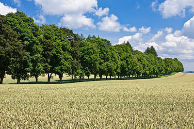 Cornfield Photograph - Treelined In A Cornfield by Panoramic Images