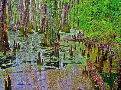 Trees And Knees In Tupelo/cypress Swamp At Mile 122 Of Natchez Trace Parkway-mississippi Print by Ruth Hager