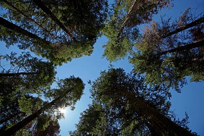 Trees At Tuolumne Sequoia Grove Art Print