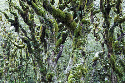 Trees Covered With Moss And Frost, New Art Print by Matteo Colombo