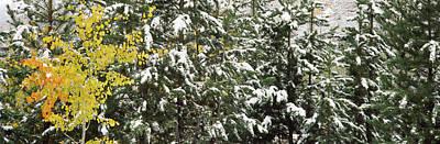Trees Covered With Snow, Grand Teton Art Print