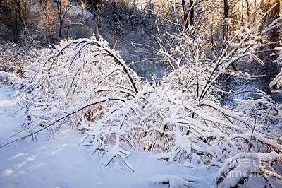Ontario Photograph - Trees In Snowy Forest After Winter Storm by Elena Elisseeva