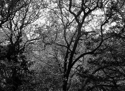 Photograph - Trees Intertwined by Connie Fox