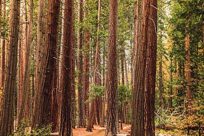 Trees Of Yosemite Print by Muhie Kanawati