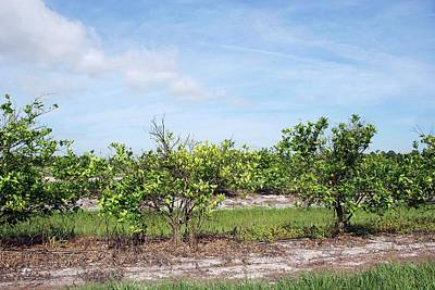 Trees With Citrus Greening Disease Art Print by Marco Pitino/us Department Of Agriculture