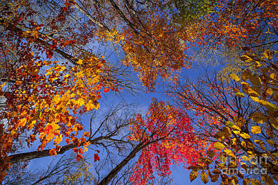 Photograph - Treetops In Fall Forest by Elena Elisseeva