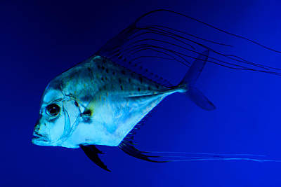 Photograph - Trevally by Tim Nichols