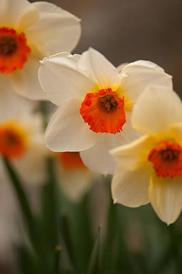 Photograph - Tri-color Daffodils by Paul Mangold