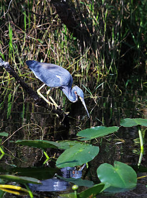 Photograph - Tri Color Heron At Shark Valley by Jean Clark