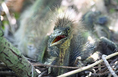 Photograph - Tri Color Heron Chick by Jean Clark