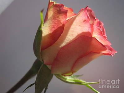 Photograph - Tri-color Macro Rose 3 by Tara  Shalton
