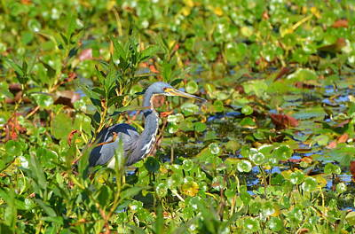 Tri Colored Heron 2 Art Print