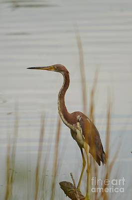 Photograph - Tri-colored Heron  by Bob Sample