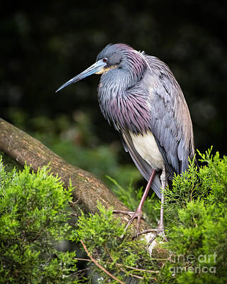 Tri-colored Heron Photograph - Tri Colored Heron by Caisues Photography