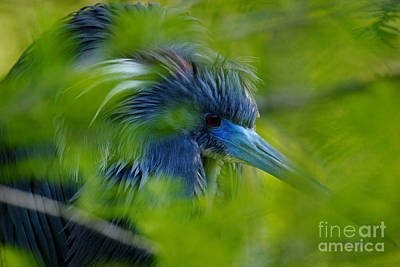 Photograph - Tri-colored Heron Concealed    by John F Tsumas