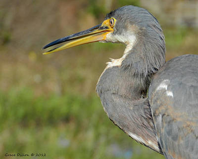 Photograph - Tri-colored Heron by Grace Dillon