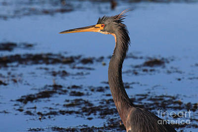 Photograph - Tri-colored Heron by Meg Rousher
