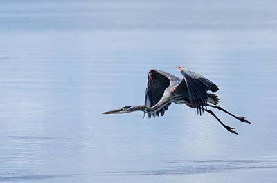 Heron Photograph - Tri Colored Heron Take Off by John M Bailey