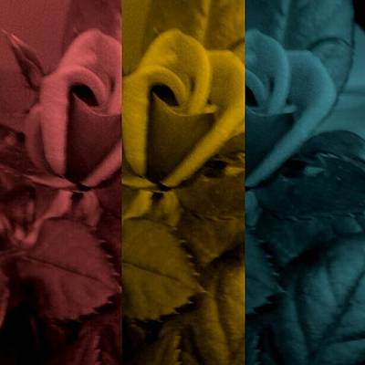 Photograph - Tri Colored Roses by Chasity Johnson